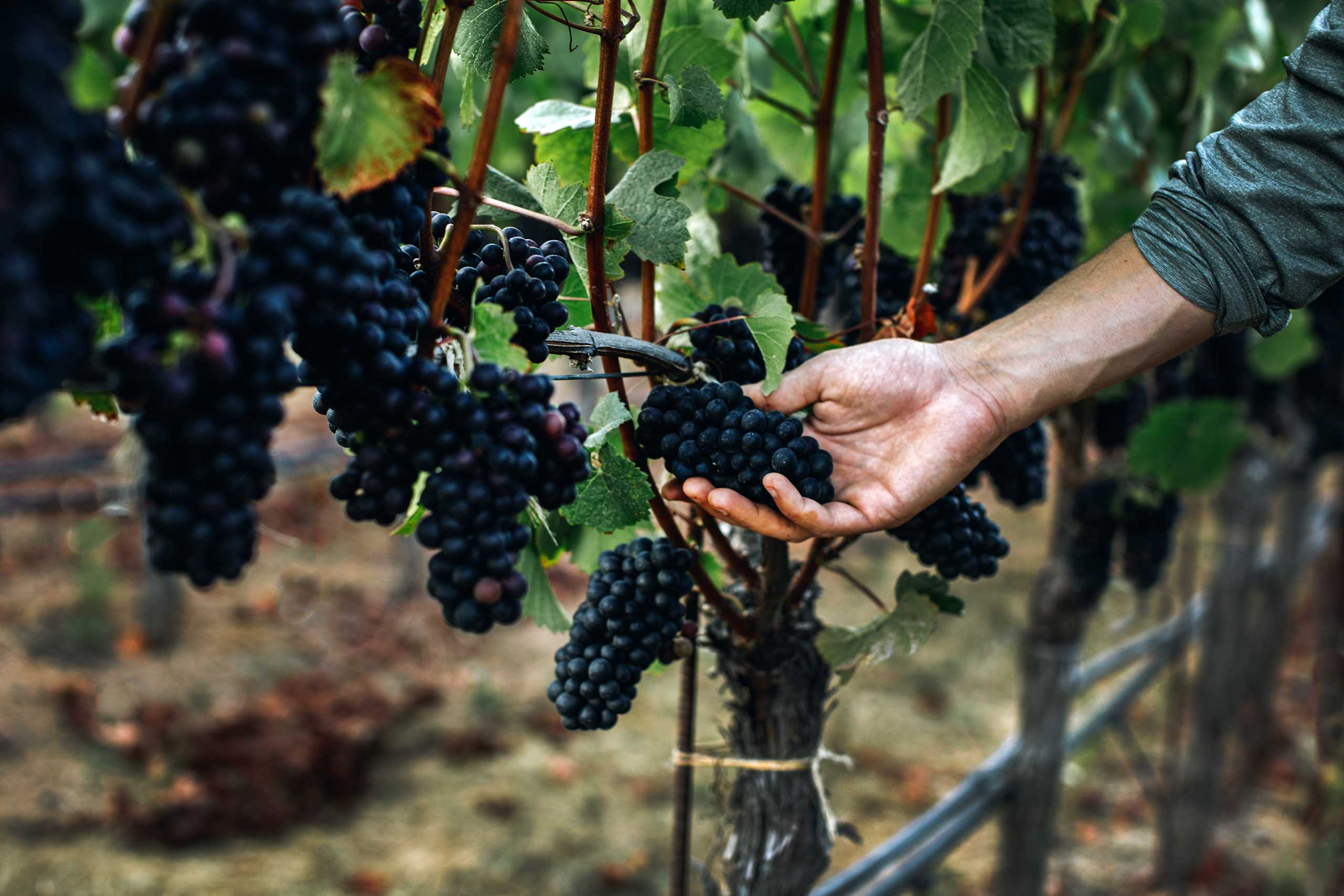 hand grasping grape cluster