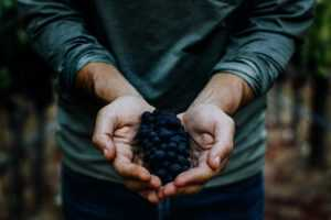 hands holding ripe grape cluster
