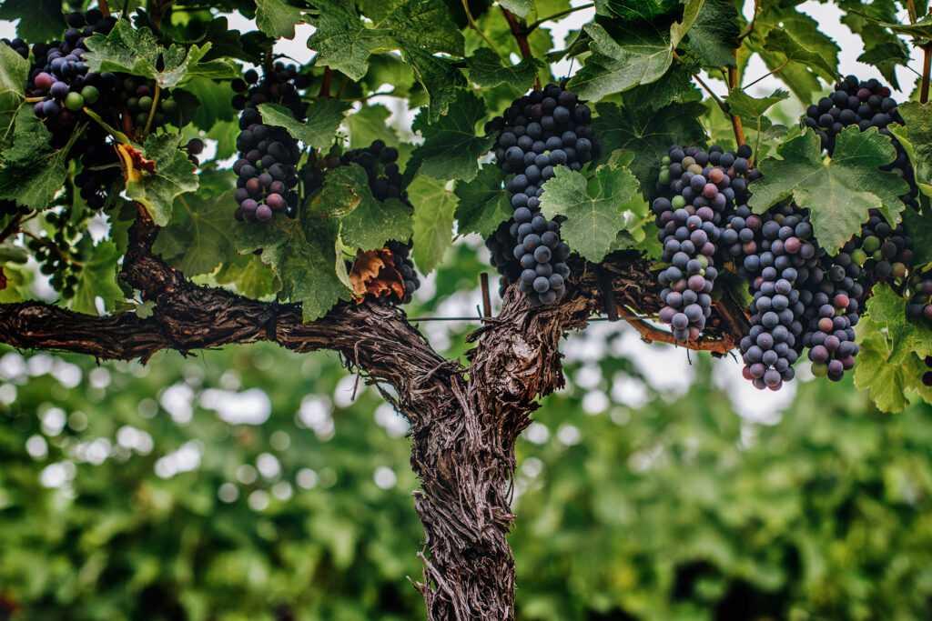 clusters hanging on vine
