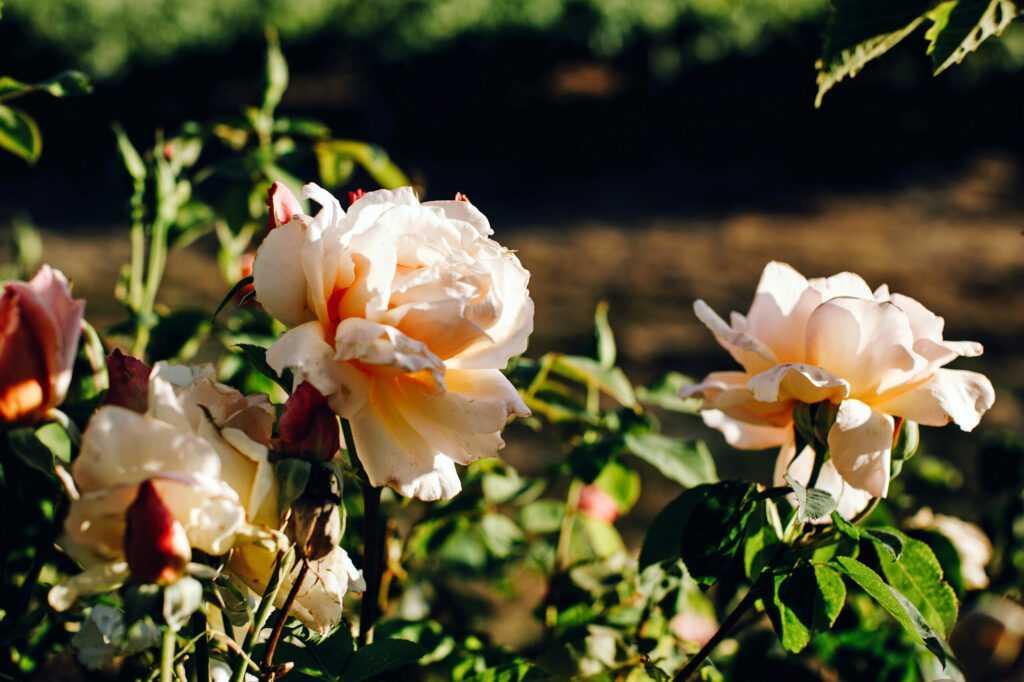 roses in Kobler Vineyard