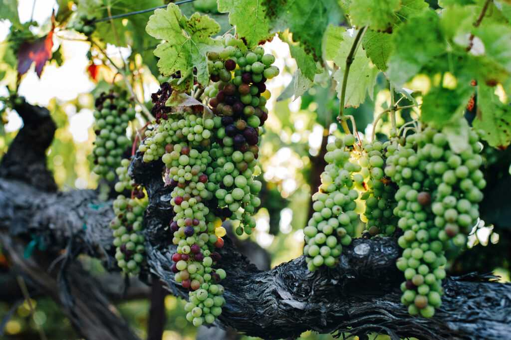 green and red bunches in Kobler Vineyard