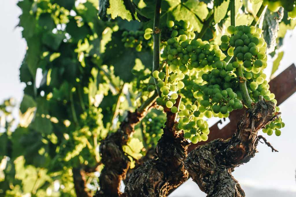 chardonnay on vine
