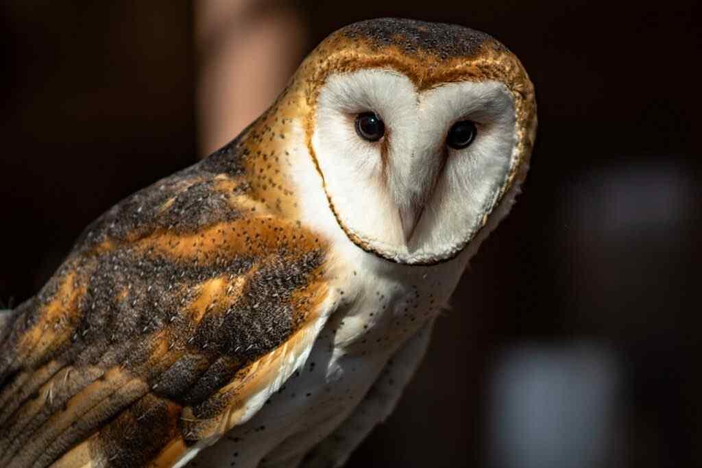 hibou, the owl