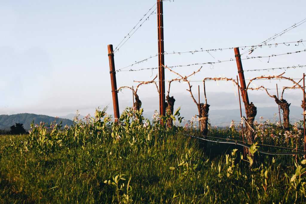 vine trunks and fence posts in afternoon light